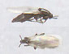 Image of <i>Thripomorpha bifida</i>