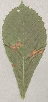 Image of <i>Guignardia aesculi</i>