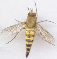 Image of <i>Thereva plebeja</i> (Linnaeus 1758)