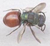 Image of <i>Hedychrum niemelai</i>