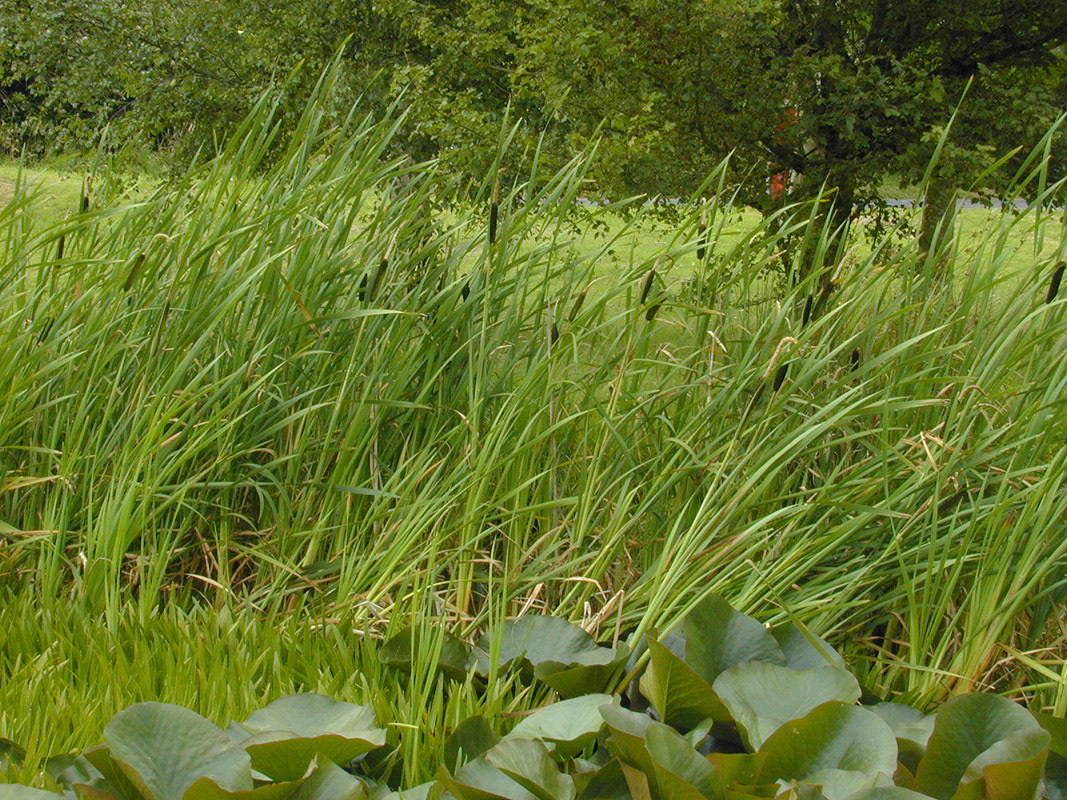 Image of broadleaf cattail