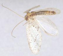 Image of <i>Hemerobius humulinus</i> Linnaeus 1758