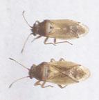 Image of <i>Cymus melanocephalus</i> Fieber & F. X. 1861