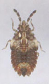 Image of <i>Aradus depressus</i> (Fabricius 1794) Fabricius 1794