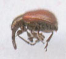 Image of <i>Neocoenorrhinus aequatus</i> (Linnaeus 1767)