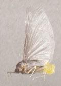 Image of Caenis