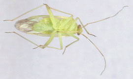 Image of Common Green Capsid