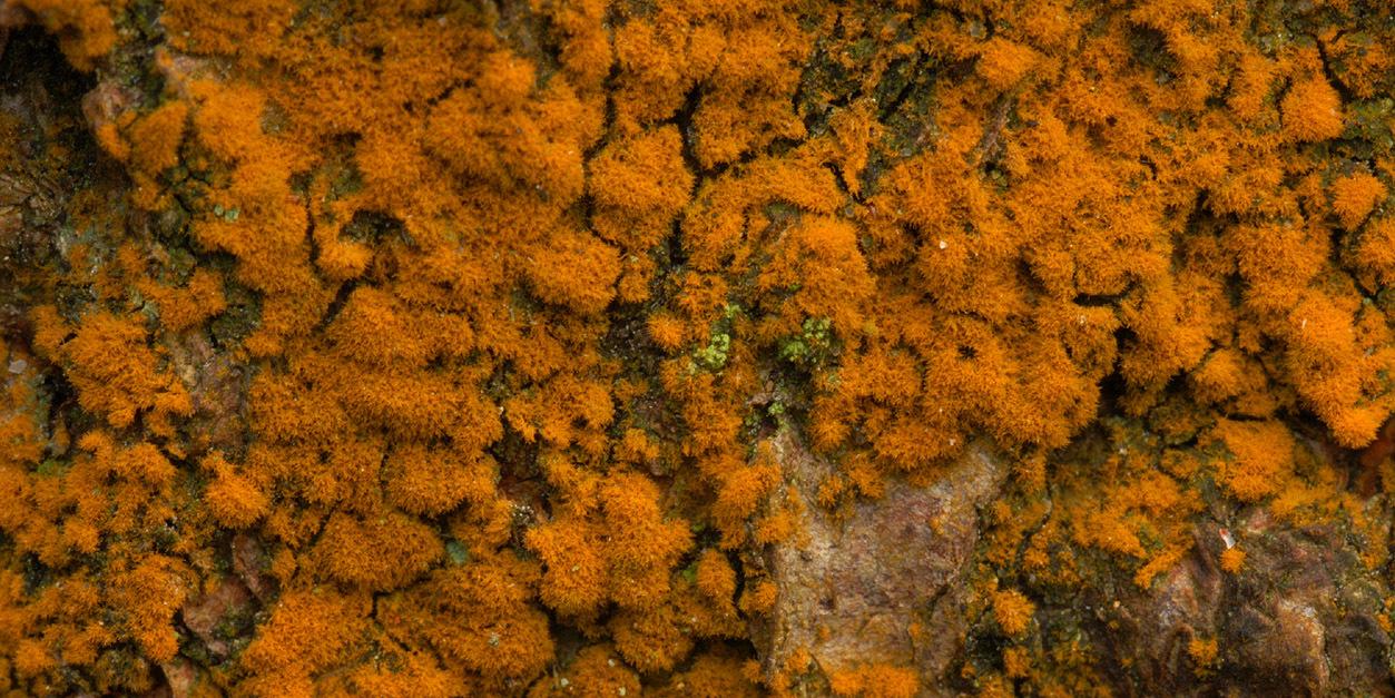 Image of <i>Trentepohlia abietina</i>
