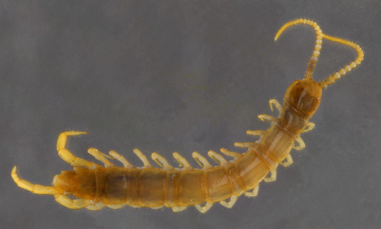 Image of <i>Lithobius</i> (<i>Sigibius</i>) <i>microps</i> Meinert 1868