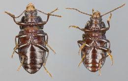 Image of <i>Nalassus laevioctostriatus</i> (Goeze 1777) Goeze 1777