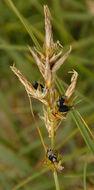 Image of <i>Anthracoidea arenariae</i> (Syd.) Nannf. 1977