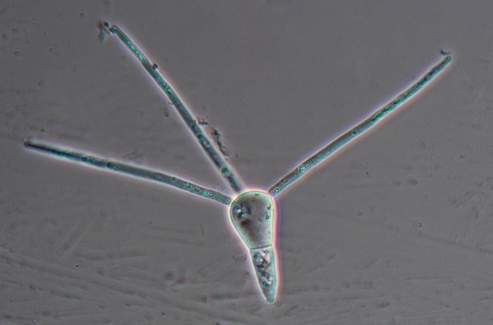 Image of <i>Clavariopsis aquatica</i> De Wild. 1895