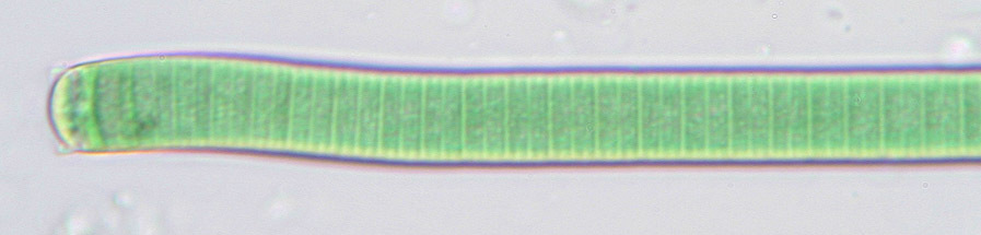 Image of <i>Phormidium limosum</i> (Dillwyn) P. C. Silva 1996