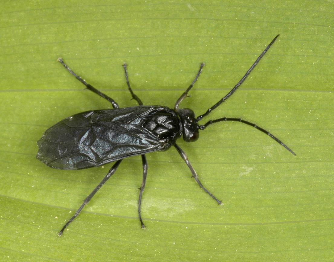 Image of <i>Phymatocera aterrima</i> (Klug 1816) Klug 1816