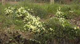 Image of primrose