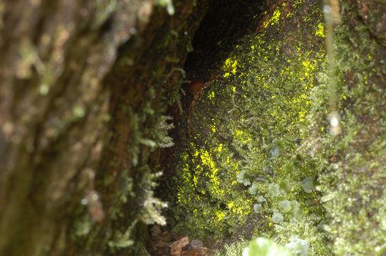 Image of schistostega moss