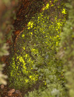 Image of schistostega moss
