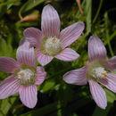 Image of bog pimpernel
