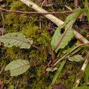 Image of <i>Rumex <i>sanguineus</i></i> var. sanguineus