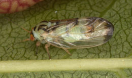 Image of Jumping plant lice