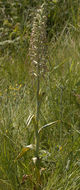 Image of Lizard Orchid