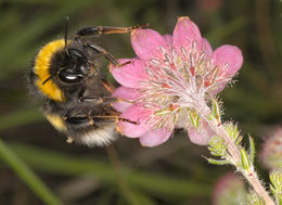 Image of White-tailed bumblebee