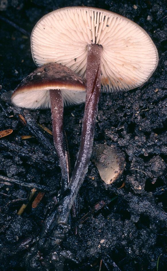 Image of <i>Macrocystidia cucumis</i> (Pers.) Joss. 1934