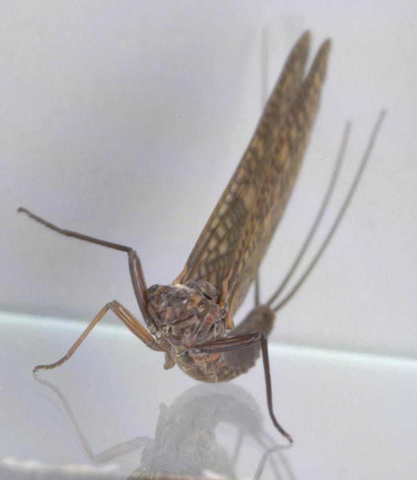 Image of <i>Paraleptophlebia submarginata</i> (Stephens 1835)