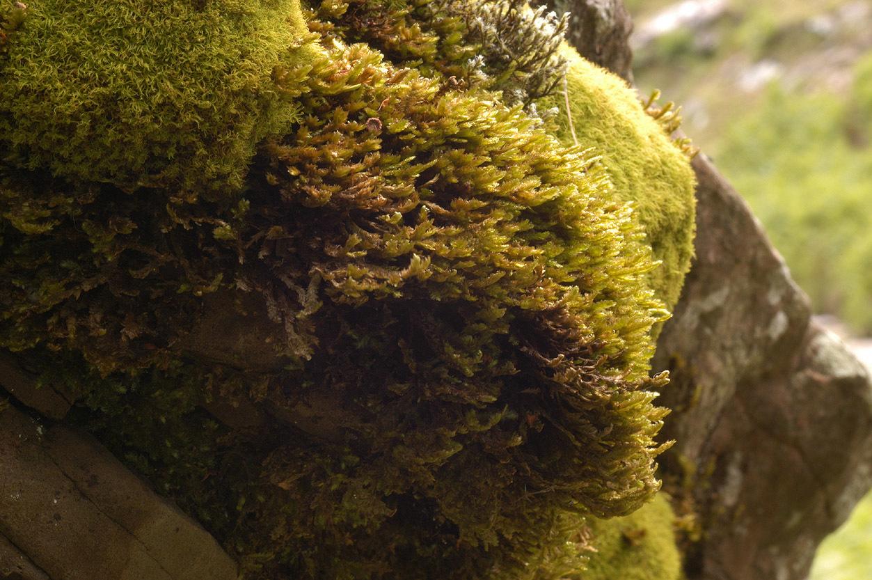 Image of <i>Neckera crispa</i> Hedwig 1801