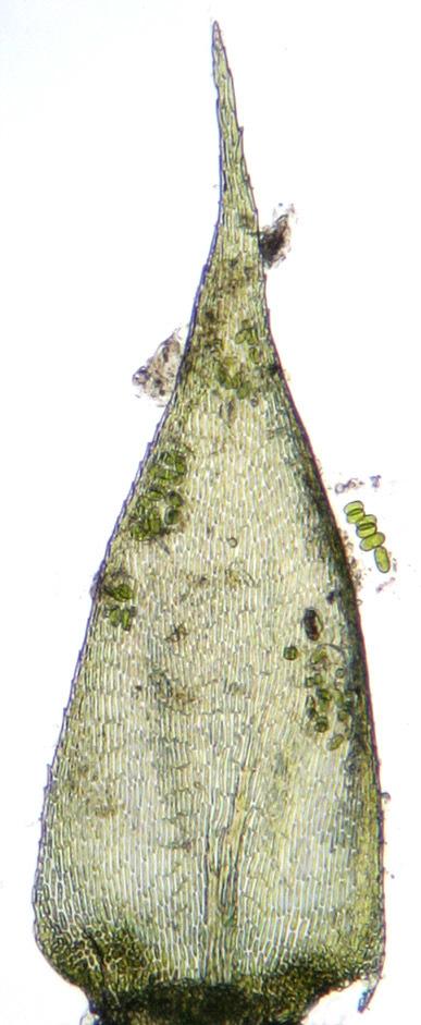 Image of <i>Isothecium <i>myosuroides</i></i> var. myosuroides