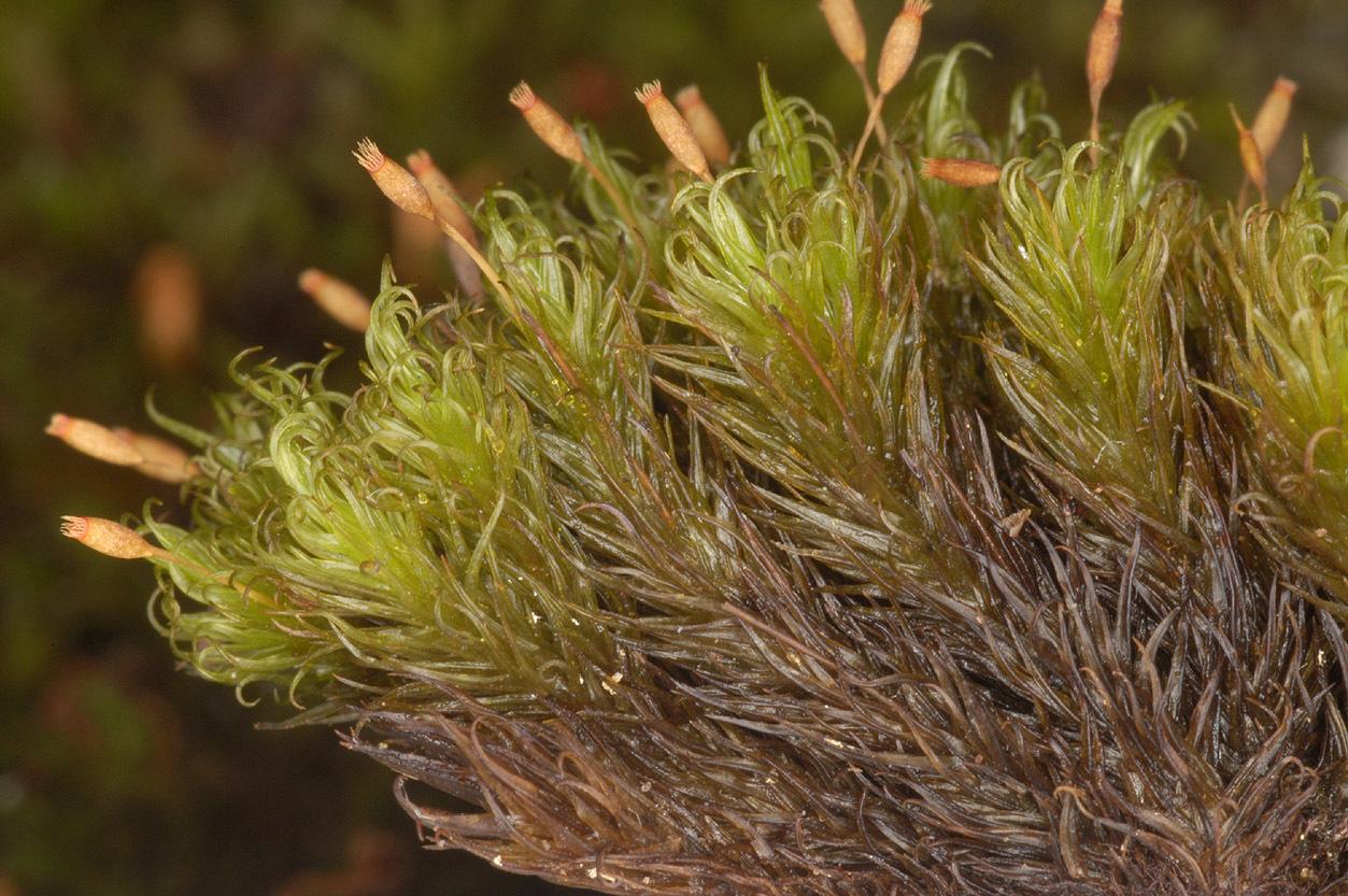 Image of <i>Ptychomitrium polyphyllum</i> Bruch & W. P. Schimper 1837