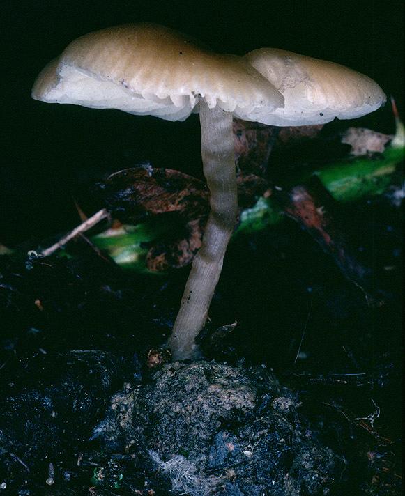 Image of <i>Tephrocybe ellisii</i> P. D. Orton 1988