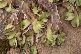 Image of <i>Preissia quadrata</i> (Scop.) Nees
