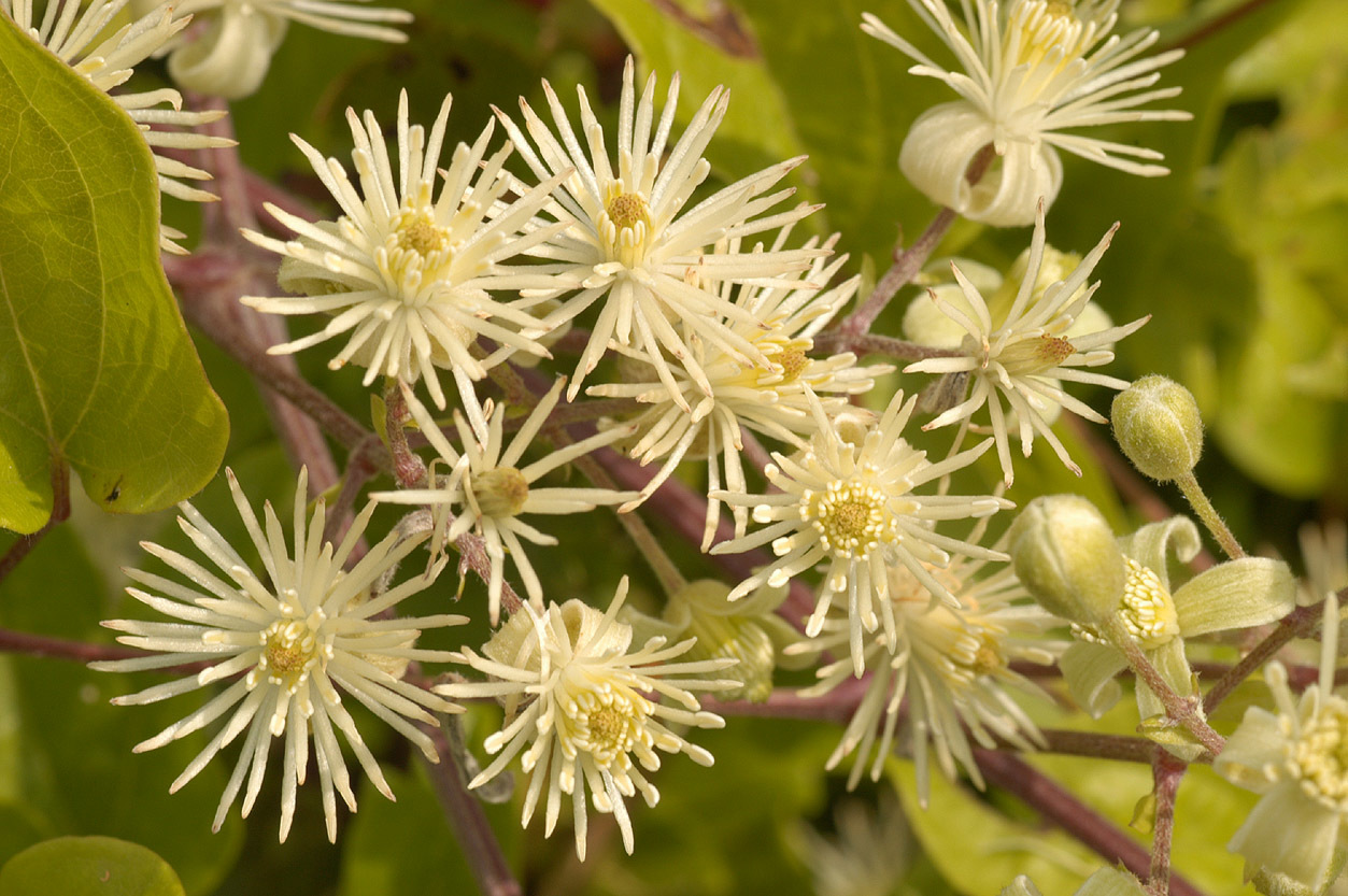 Image of evergreen clematis
