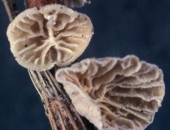 Image of <i>Campanella caesia</i> Romagn. 1981