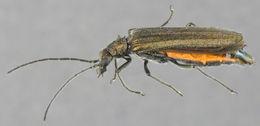 Image of <i>Oedemera lurida</i>