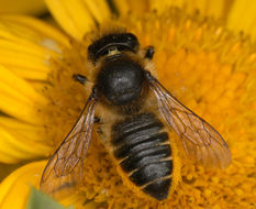 Image of Megachile leaf-cutter bee