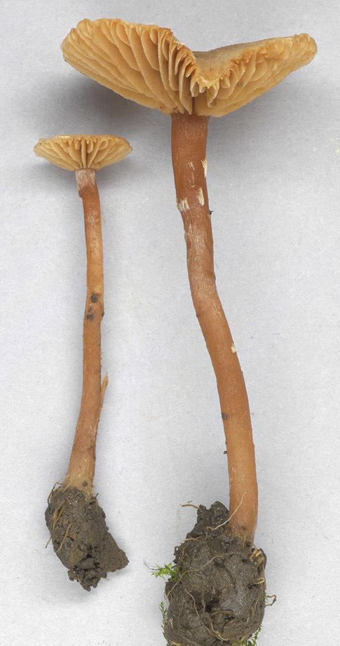 Image of <i>Tubaria conspersa</i> (Pers.) Fayod 1889