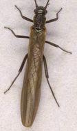 Image of <i>Leuctra inermis</i> Kempny 1899