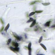 Image of <i>Rosellinia britannica</i> L. E. Petrini, Petrini & S. M. Francis 1989