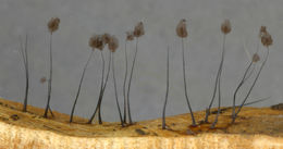 Image of <i>Comatricha nigra</i>