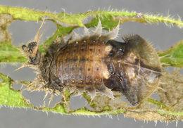 Image of thistle tortoise beetle
