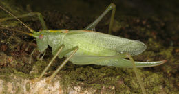 Image of Drumming Katydid