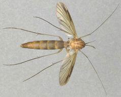 Image of predatory fungus gnats