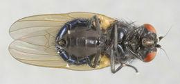 Image of <i>Setisquamalonchaea fumosa</i> (Egger 1862)