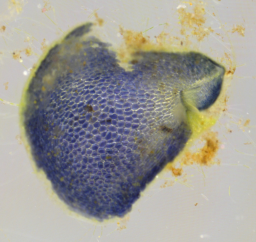 Image of Greater Bladderwort