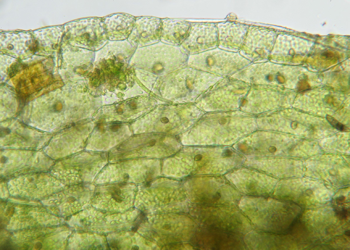 Image of <i>Riccardia chamedryfolia</i> (With.) Grolle