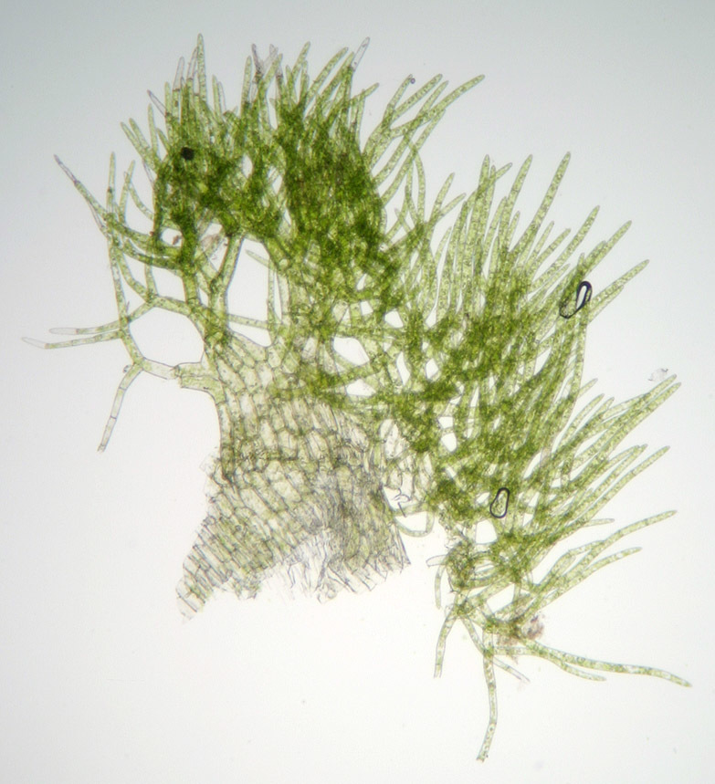 Image of Handsome Woollywort