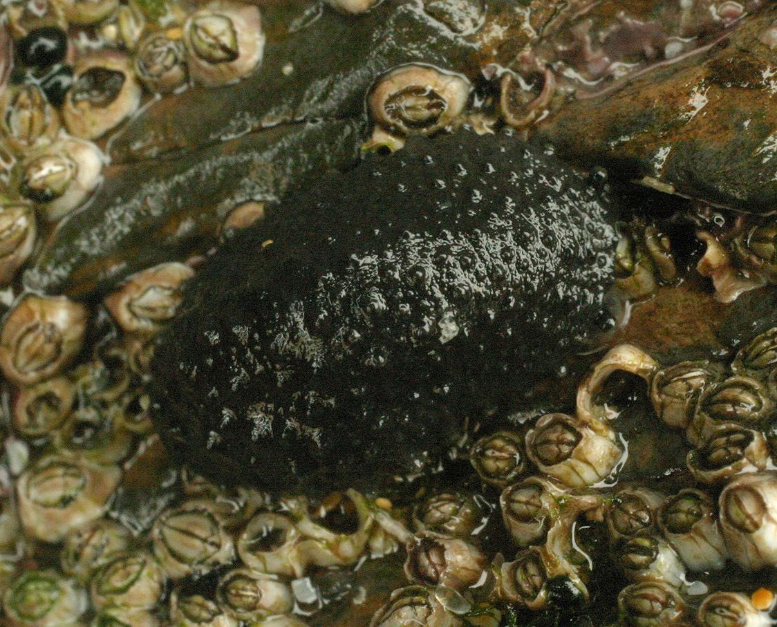 Image of celtic sea slug