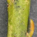 Image of Common osier